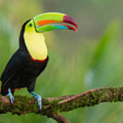 Keel Billed Toucan Perched On A Branch In The Rainforest Poster