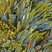 Kelp On A Rock Poster
