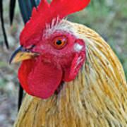 Key West Chicken Poster