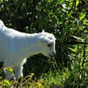 Kid Goat In Bushes Poster