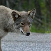 Killarney Coyote Poster