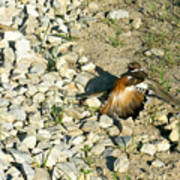 Killdeer Broken Wing Act Poster by Douglas Barnett