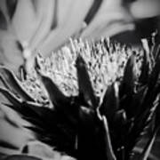 King Protea Exotic Tropical Flowers Poster