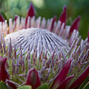King Protea Island Flowers Jewel Of The Garden Poster