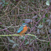 Kingfisher. Poster