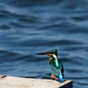 Kingfisher On The Dock Poster