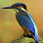 Kingfisher Perch Poster