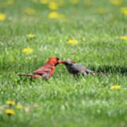 Kissing Cardinals Poster