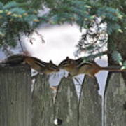 Kissing On A Fence Poster