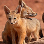 Kit Fox Mother Looking Over Pup Poster