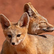 Kit Fox Pup Snuggling With Mother Poster