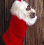Kitten In Stocking Poster