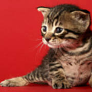Kitten On Red Poster