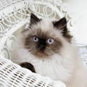 Kitten Portrait Poster