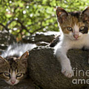 Kittens On A Wall Poster