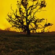 Koa Tree Silhouette Poster