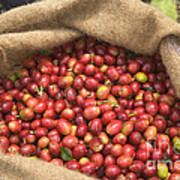 Kona Coffee Bean Harvest Poster