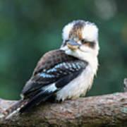 Kookaburra Australian Bird Poster