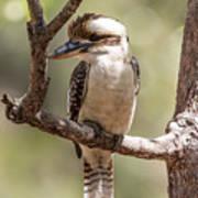 Kookaburra Sits In The Ol Gum Tree Poster