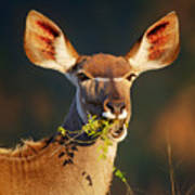 Kudu Portrait Eating Green Leaves Poster