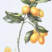 Kumquat Poster by Margaret Ann Eden