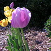 Kv Tulips Poster