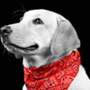 Labrador In Black And White  Poster
