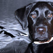 Labrador Retriever Thoughts  Poster