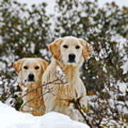 Labrador's In Snow Poster