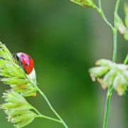 Lady Bird On A Herb Straw Close Up Poster