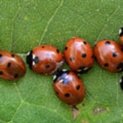 Lady Bugs  Poster