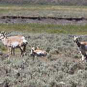 Lady Pronghorn Gathering Poster