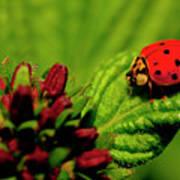 Ladybug Atop A Leaf Poster