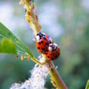 Ladybug Beetles Mating Near Aphids    Spring    Indiana Poster