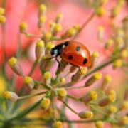 Ladybug On Fennel Poster