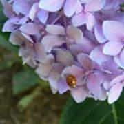 Ladybug On Hydrangea Poster