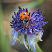 Ladybug On Purple Flower Poster
