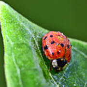 Ladybug With Dew Drops Poster