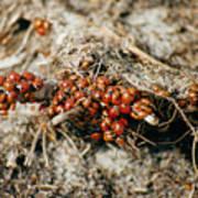 Ladybugs En Masse Poster