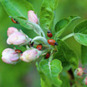 Ladybugs On Apple Blossoms Poster