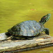 Laidback Turtle Poster