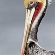 La Jolla Pelican Poster