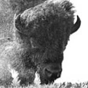 Lamar Valley Bison Black And White Poster