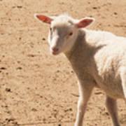 Lamb Looking Cute. Poster