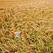 Lamb With Barley Poster by Meirion Matthias