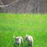 Lambs In A Sea Of Green Poster