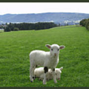 Lambs In Pasture Poster