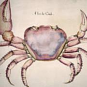 Land Crab Poster
