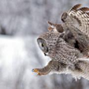 Landing Great Grey Owl Poster