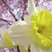 Landscape Daffodils Flowers Art Pink Tree Blossoms Spring Baslee Poster